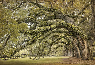 Live Oaks Photograph - Avenue Of Oaks by Magda  Bognar
