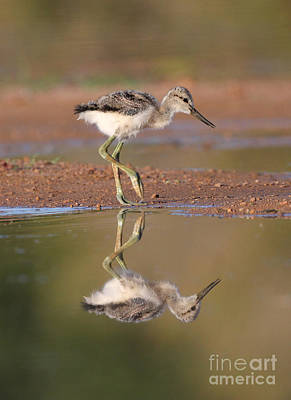 Avocet Chick  Art Print by Ruth Jolly