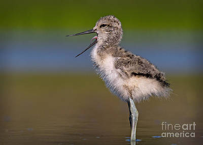 Irvine Photograph - Avocet Chick Yawning by Kim Michaels
