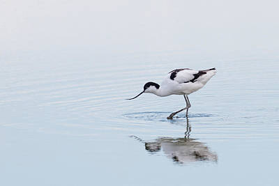 Nature Reserve Photograph - Avocet by Ian Hufton