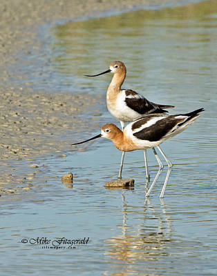 Photograph - Avocet Pair by Mike Fitzgerald