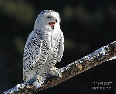 Awakened- Snowy Owl Laughing Art Print