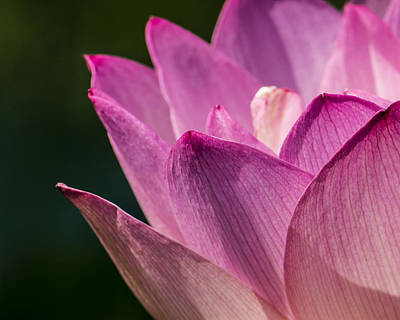 Fuchsia Photograph - Awakening Lotus by Jon Woodhams