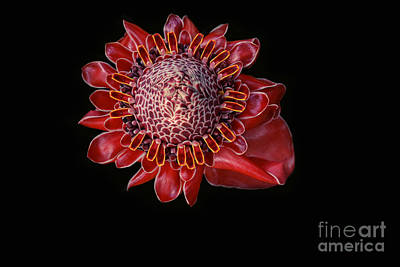 Photograph - Awapuhi Ko Oko'o - Torch Ginger - Etlingera Elatior - Hawaii by Sharon Mau