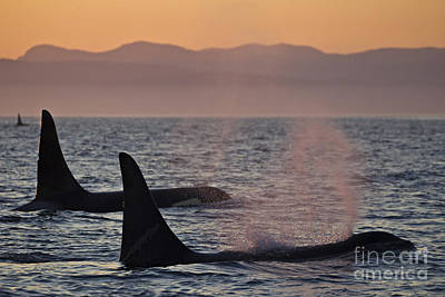 Dorsal Fin Photograph - Award Winning Photo Of Two Killer Whales At Sunset Dramatic Silhouette by Brandon Cole