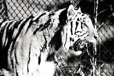 Axl - Tiger In Black And White Art Print
