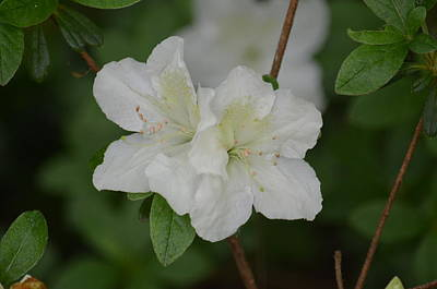 Photograph - Azalea 14-2 by Maria Urso