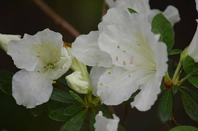 Photograph - Azalea 14-4 by Maria Urso