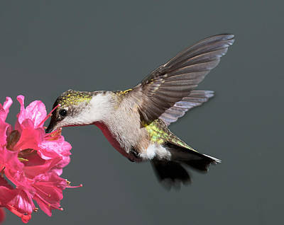 Photograph - Azalea And The Hummingbird by Lara Ellis