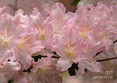 Photograph - Azalea Beauty by Olivia Hardwicke