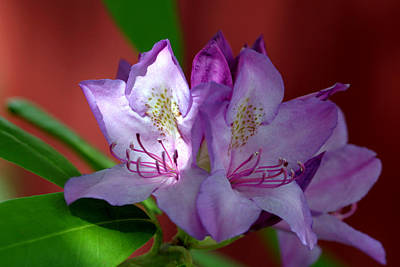 Photograph - Azalea Blossom In A Sunshine Spotlight  by Gene Walls