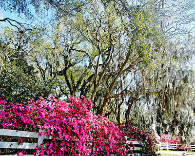 Photograph - Azalea Clad Fence Roselawn Plantation by Lizi Beard-Ward
