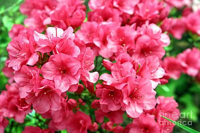 Photograph - Azalea Fuchsia Pink Closeup by Susan Stevenson