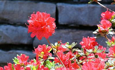 Photograph - Azaleas In April by Janette Boyd