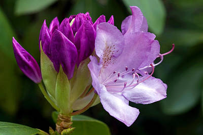 Photograph - Azalea Secrets by Gene Walls