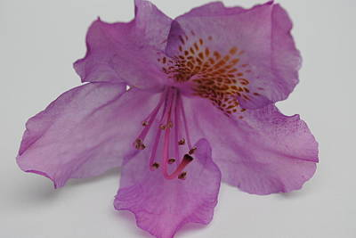 Photograph - Azalea Still Life II by Robert  Moss