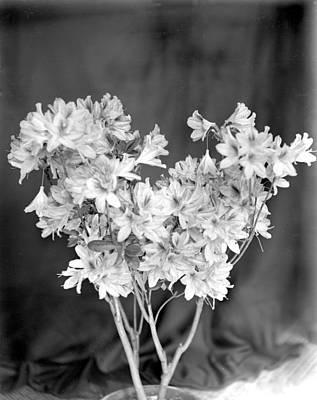 Photograph - Azalea  by William Haggart