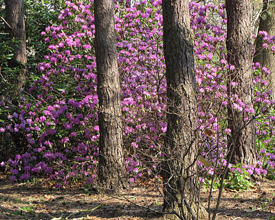 Photograph - Azaleas by Ann Bridges