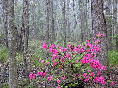Azaleas In Fog Art Print by Cindy McIntyre