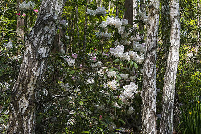 Flower Blooms Photograph - Azaleas In The Trees by Garry Gay