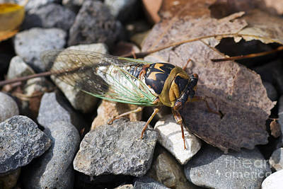 Photograph - Aztec Cicada In Arizona by Martha Marks