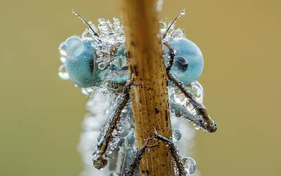 Damselflies Photograph - Azure Damselfly by Heath Mcdonald