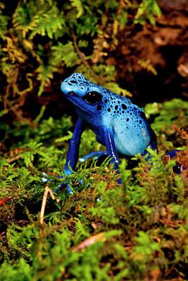 Anurans Photograph - Azure Dart Frog Dendrobates Azureus by David Northcott
