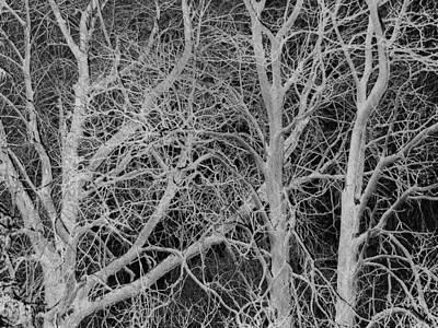 Photograph - White Branches On Black by Jodie Marie Anne Richardson Traugott          aka jm-ART