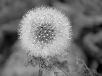 B And W Seed Head Art Print by David T Wilkinson