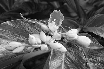 Photograph - B W Ginger Lily Blossom And Bug by Connie Fox