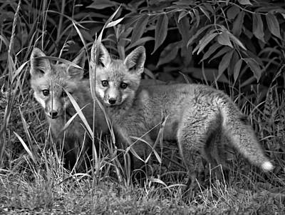 Fox Photograph - Babes In The Woods Monochrome by Steve Harrington
