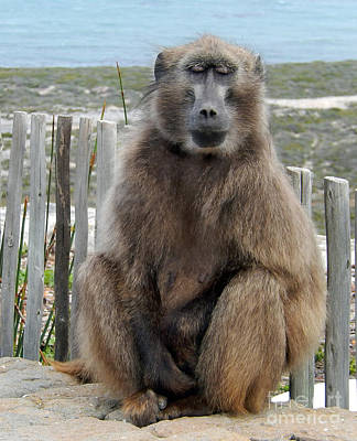 Photograph - Baboon At The Cape by Carolyn Jarvis