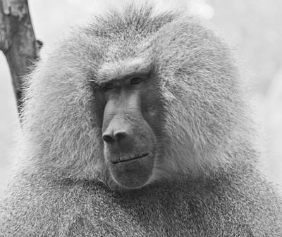 Photograph - Baboon In Black And White by Jonny D