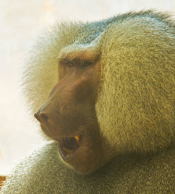 Photograph - Baboon In The Sun by Jonny D