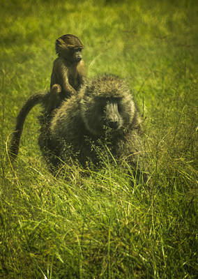 Photograph - Baboon by Jennifer Burley