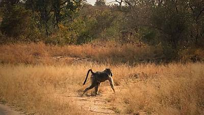 Holiday Photograph - Baboon Off For A Walk by Lisa Byrne