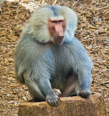 Photograph - Baboon On A Stump by Jonny D