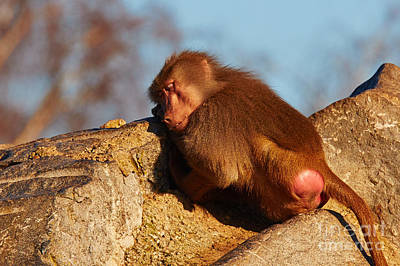 Photograph - Baboon Sleeping On A Rock by Nick  Biemans