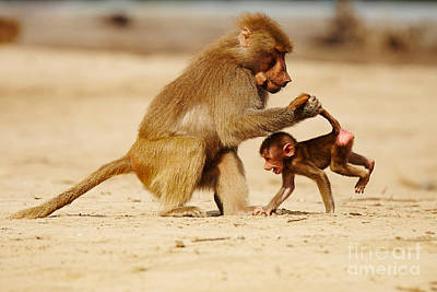Photograph - Baboon With Baby by Nick  Biemans