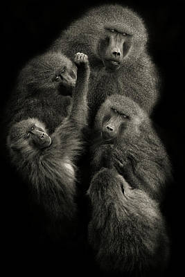 Guinea Wall Art - Photograph - Baboons  United  by Mario Moreno