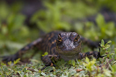 Swamp Photograph - Baby Alligator by Andres Leon