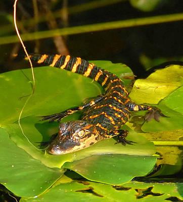 Photograph - Baby Alligator Card Cut by David Lee Thompson