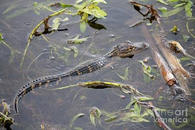 Photograph - Baby Alligator by David Grant