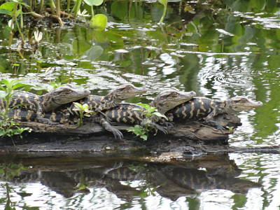 Photograph - Baby Alligators by Dan Sproul