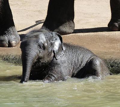 Photograph - Baby Asian Elephant Enjoys Supervised Bathing  by Margaret Saheed