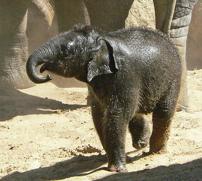 Photograph - Baby Asian Elephant by Margaret Saheed