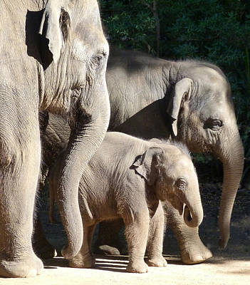 Baby Asian Elephant Socialising Art Print by Margaret Saheed