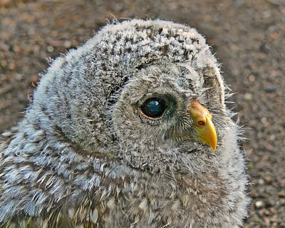 Baby Barred Owlet Art Print by Jennie Marie Schell
