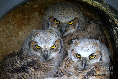 Photograph - Baby Big Horned Owls by Jale Fancey