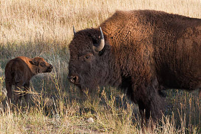 Photograph - Baby Bison Meets Daddy by Kathleen Bishop
